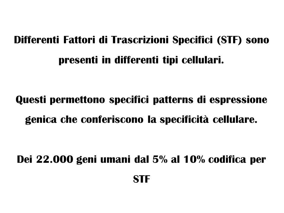 Differenti Fattori di Trascrizioni Specifici (STF) sono presenti in differenti tipi cellulari. Questi permettono specifici patterns di espressione gen