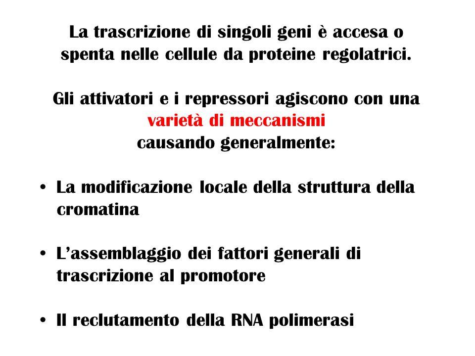 La trascrizione di singoli geni è accesa o spenta nelle cellule da proteine regolatrici. Gli attivatori e i repressori agiscono con una varietà di mec