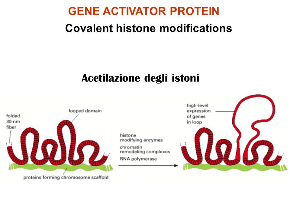 GENE ACTIVATOR PROTEIN Covalent histone modifications Acetilazione degli istoni
