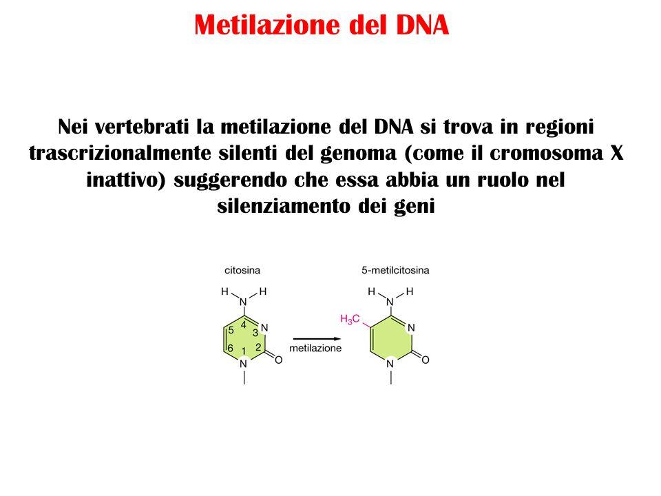 Metilazione del DNA Nei vertebrati la metilazione del DNA si trova in regioni trascrizionalmente silenti del genoma (come il cromosoma X inattivo) sug