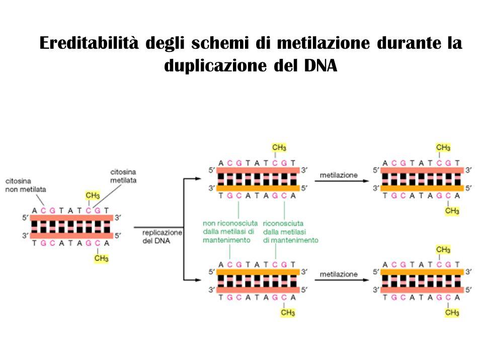 Ereditabilità degli schemi di metilazione durante la duplicazione del DNA