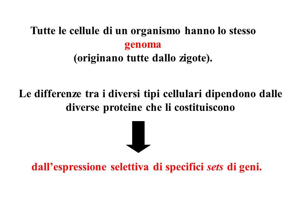 Tutte le cellule di un organismo hanno lo stesso genoma (originano tutte dallo zigote). Le differenze tra i diversi tipi cellulari dipendono dalle div