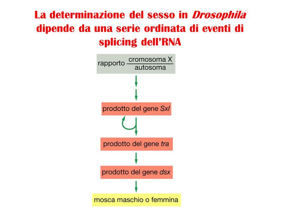 La determinazione del sesso in Drosophila dipende da una serie ordinata di eventi di splicing dellRNA