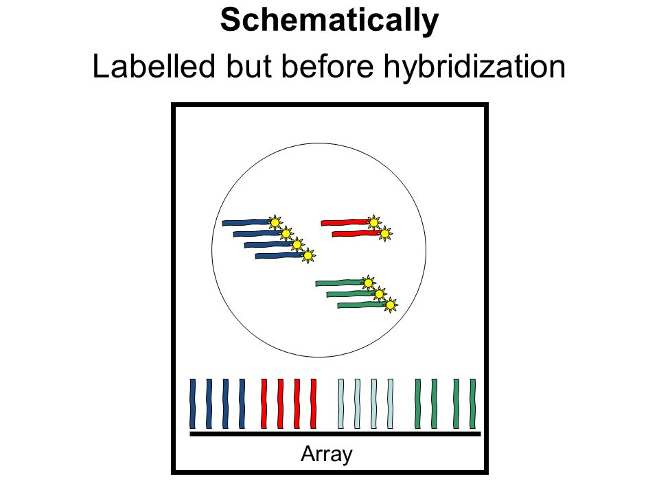 Array Labelled but before hybridization Schematically