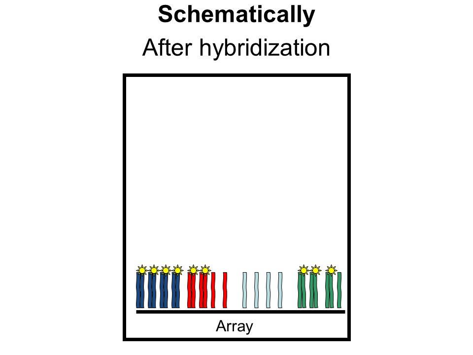 After hybridization Schematically Array