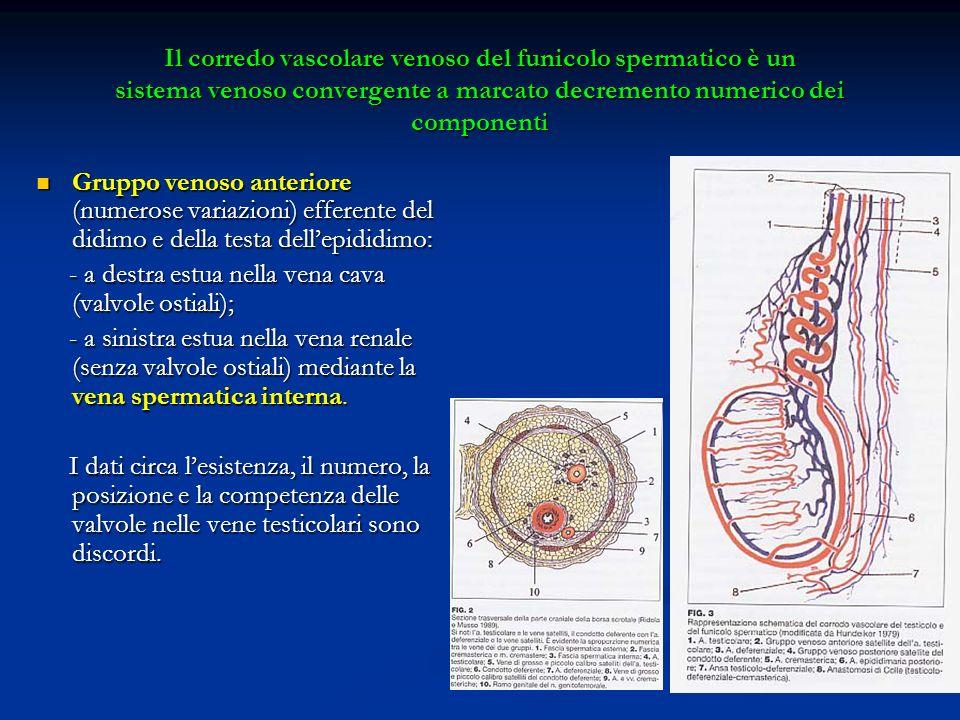 Il corredo vascolare venoso del funicolo spermatico è un sistema venoso convergente a marcato decremento numerico dei componenti Gruppo venoso anterio