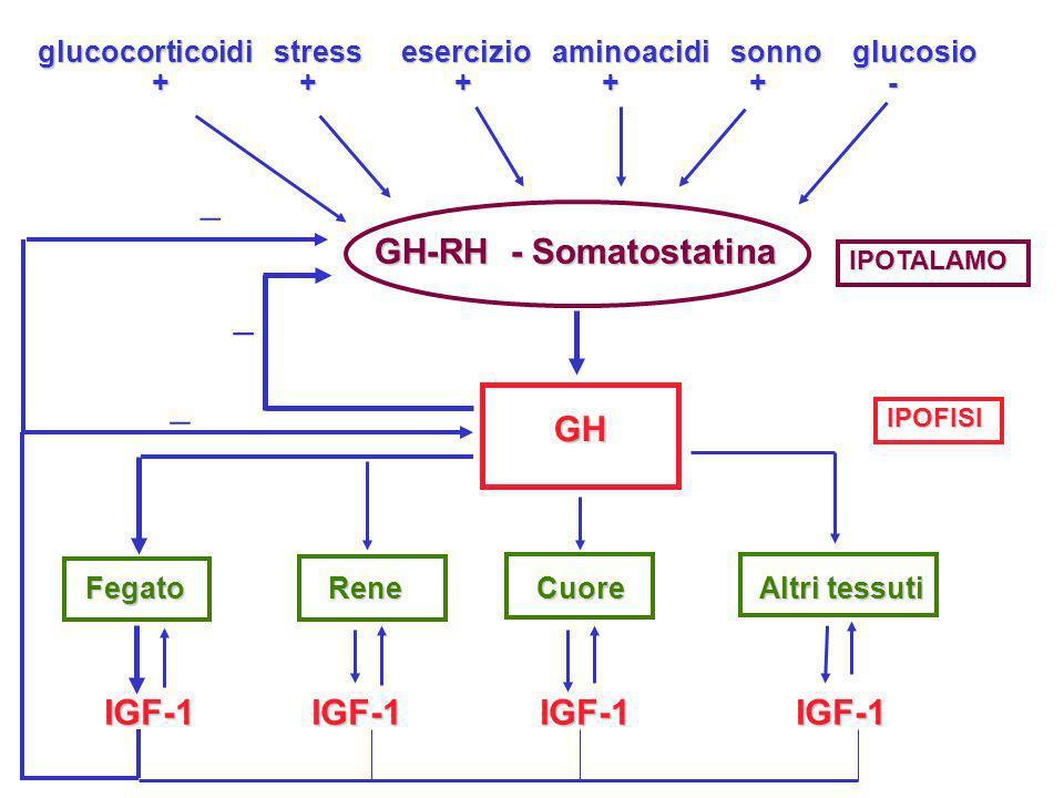 glucocorticoidi stress esercizio aminoacidi sonno glucosio + + + + + - + + + + + - GH-RH - Somatostatina GH Fegato Rene Cuore Altri tessuti IGF-1 IGF-