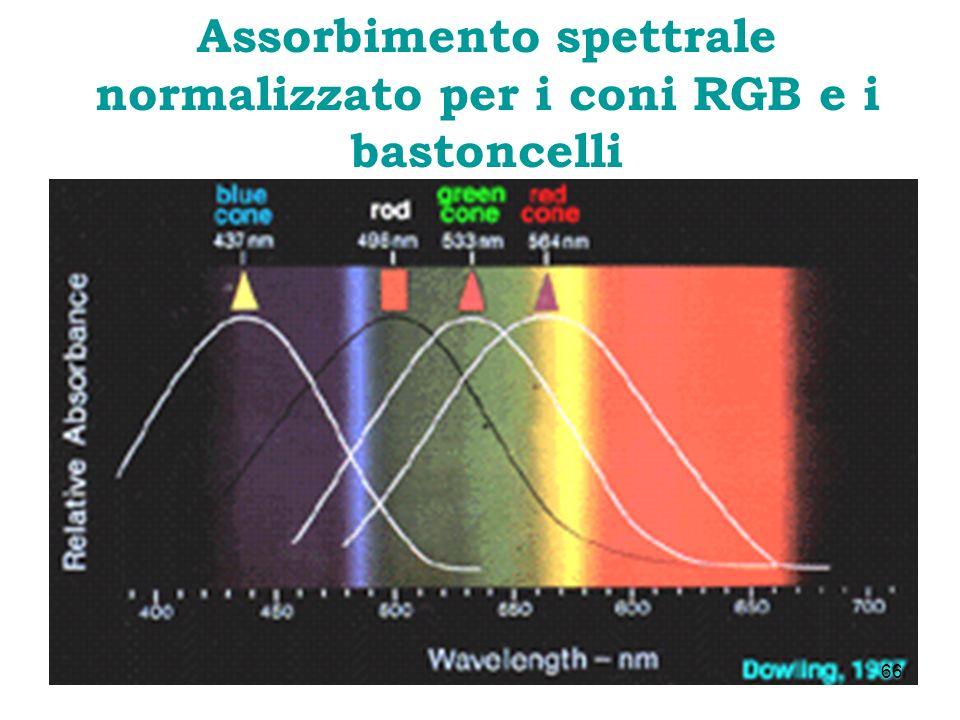 Assorbimento spettrale normalizzato per i coni RGB e i bastoncelli 66