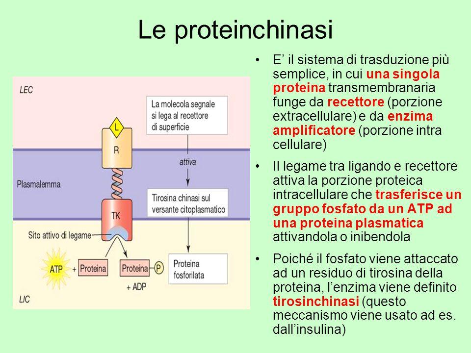 Le proteinchinasi E il sistema di trasduzione più semplice, in cui una singola proteina transmembranaria funge da recettore (porzione extracellulare)