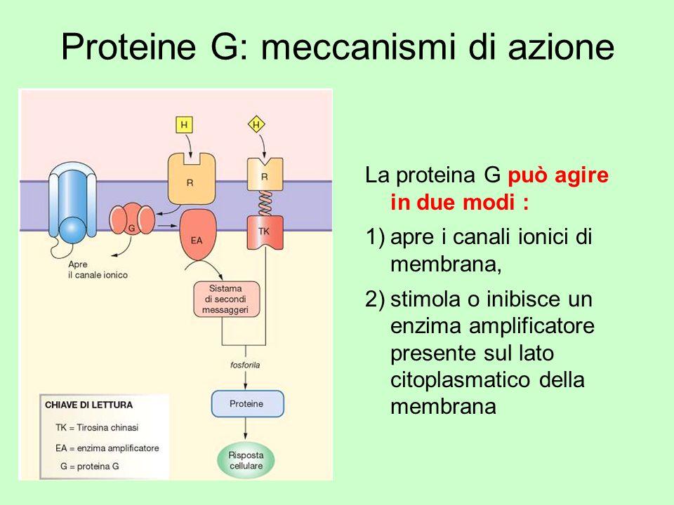 Proteine G: meccanismi di azione La proteina G può agire in due modi : 1)apre i canali ionici di membrana, 2)stimola o inibisce un enzima amplificator