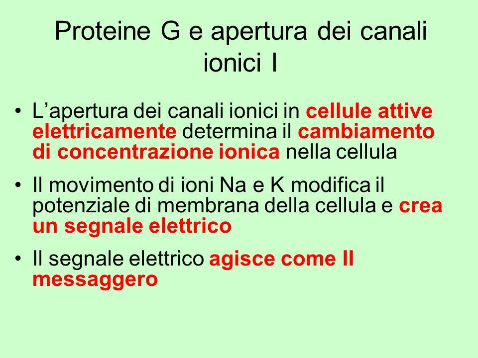 Proteine G e apertura dei canali ionici I Lapertura dei canali ionici in cellule attive elettricamente determina il cambiamento di concentrazione ioni