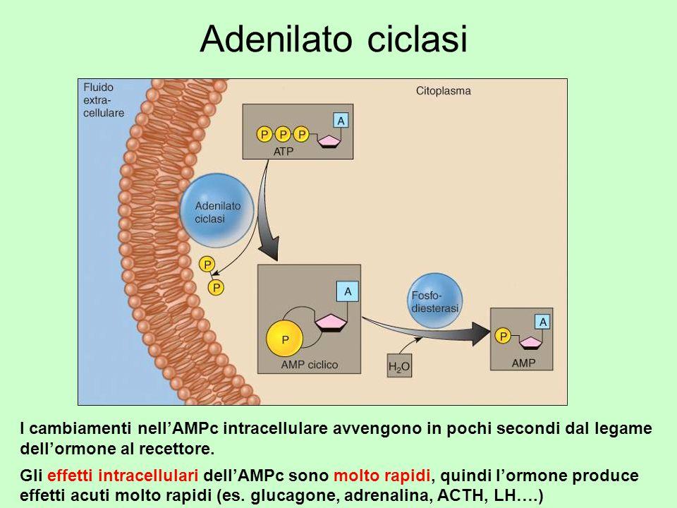 Adenilato ciclasi I cambiamenti nellAMPc intracellulare avvengono in pochi secondi dal legame dellormone al recettore. Gli effetti intracellulari dell
