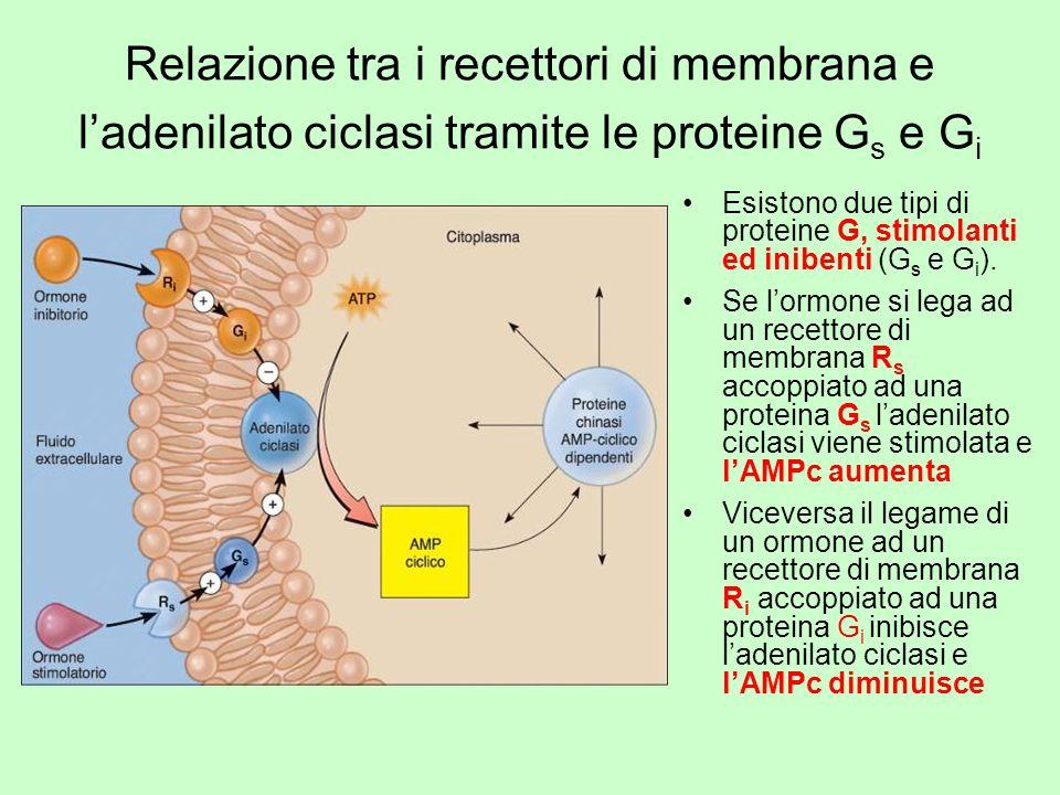 Relazione tra i recettori di membrana e ladenilato ciclasi tramite le proteine G s e G i Esistono due tipi di proteine G, stimolanti ed inibenti (G s