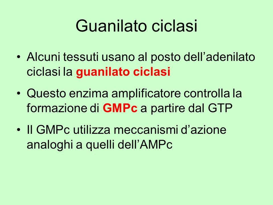 Guanilato ciclasi Alcuni tessuti usano al posto delladenilato ciclasi la guanilato ciclasi Questo enzima amplificatore controlla la formazione di GMPc