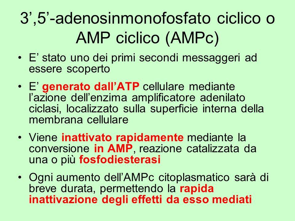 3,5-adenosinmonofosfato ciclico o AMP ciclico (AMPc) E stato uno dei primi secondi messaggeri ad essere scoperto E generato dallATP cellulare mediante