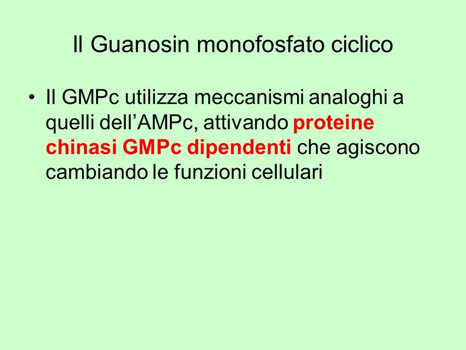 Il Guanosin monofosfato ciclico Il GMPc utilizza meccanismi analoghi a quelli dellAMPc, attivando proteine chinasi GMPc dipendenti che agiscono cambia