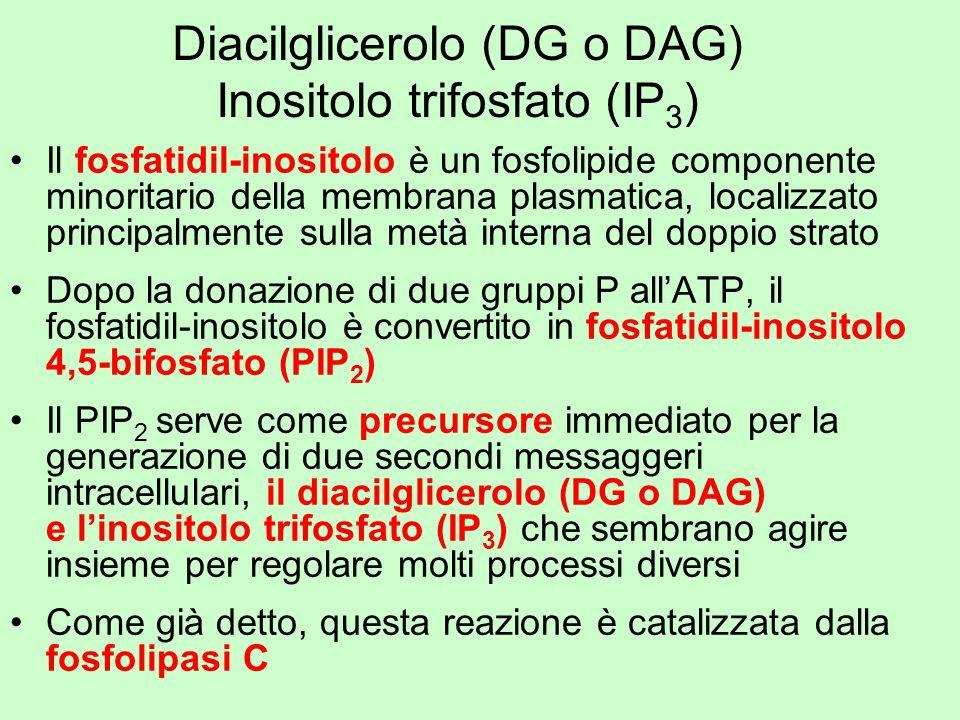 Diacilglicerolo (DG o DAG) Inositolo trifosfato (IP 3 ) Il fosfatidil-inositolo è un fosfolipide componente minoritario della membrana plasmatica, loc