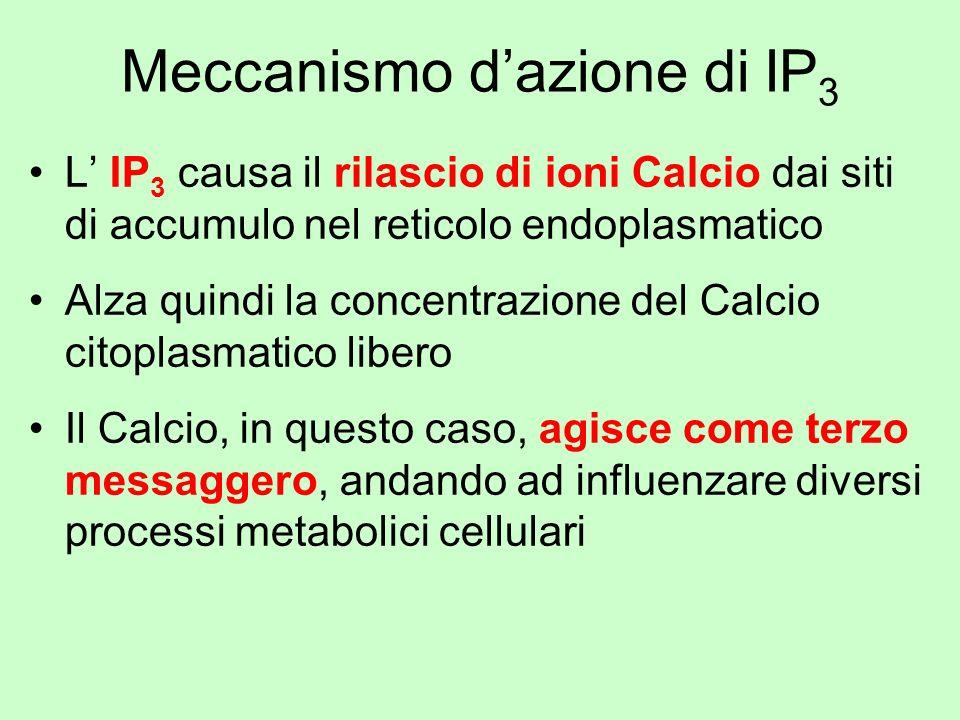 Meccanismo dazione di IP 3 L IP 3 causa il rilascio di ioni Calcio dai siti di accumulo nel reticolo endoplasmatico Alza quindi la concentrazione del
