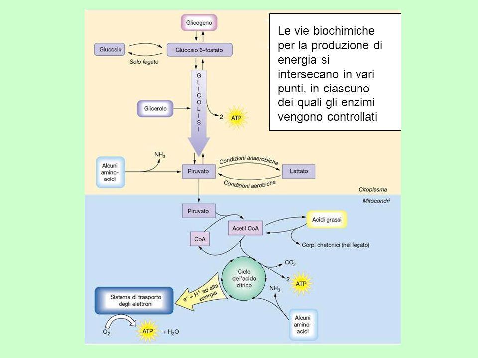 Le vie biochimiche per la produzione di energia si intersecano in vari punti, in ciascuno dei quali gli enzimi vengono controllati