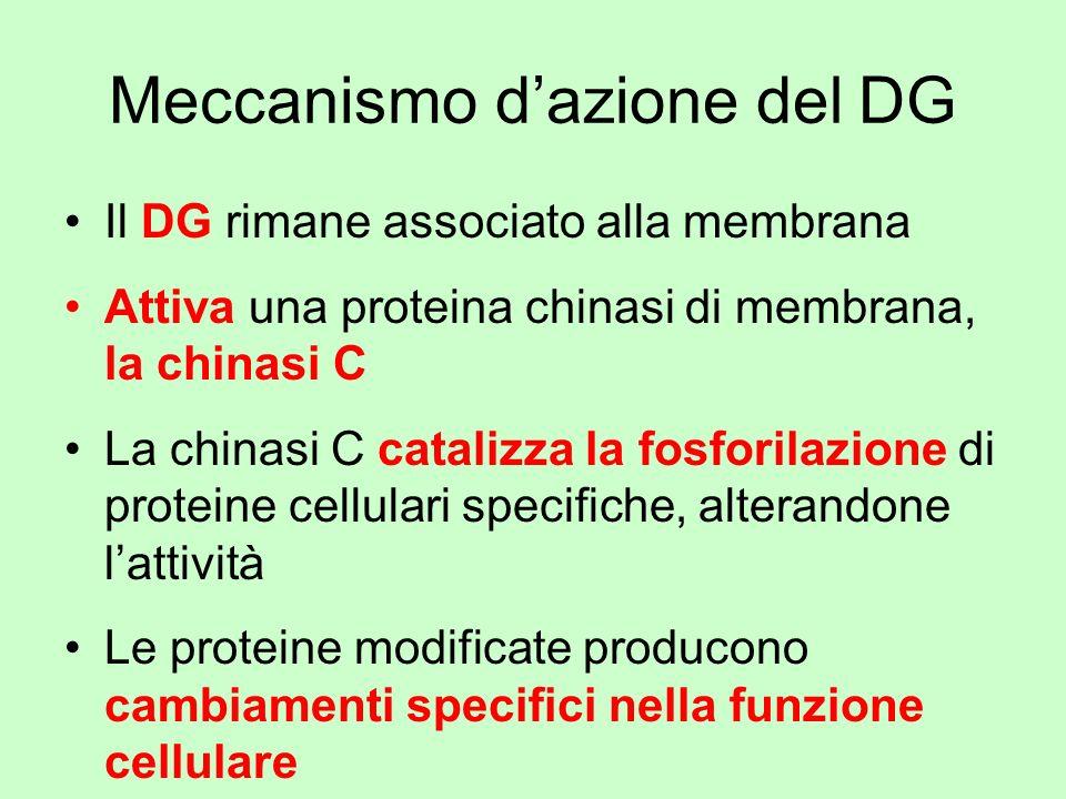 Meccanismo dazione del DG Il DG rimane associato alla membrana Attiva una proteina chinasi di membrana, la chinasi C La chinasi C catalizza la fosfori
