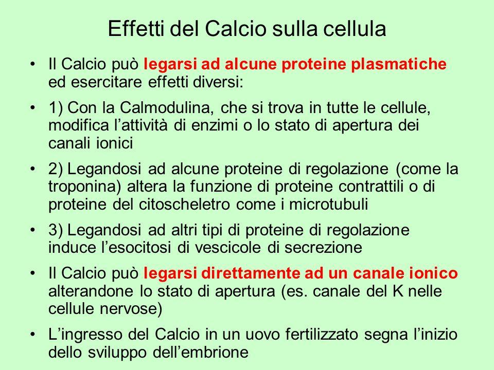 Effetti del Calcio sulla cellula Il Calcio può legarsi ad alcune proteine plasmatiche ed esercitare effetti diversi: 1) Con la Calmodulina, che si tro