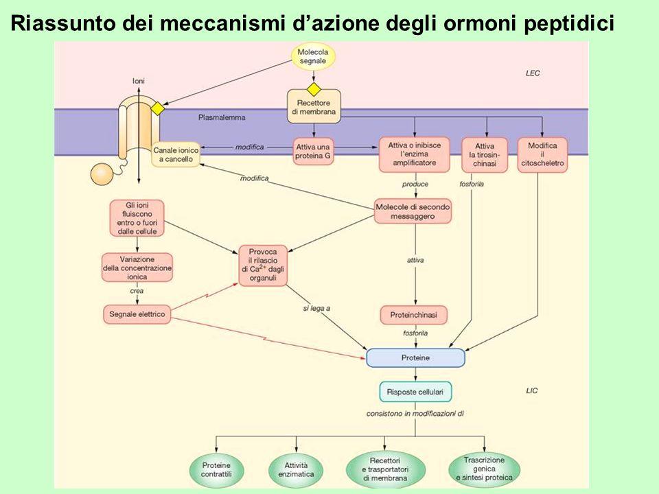 Riassunto dei meccanismi dazione degli ormoni peptidici