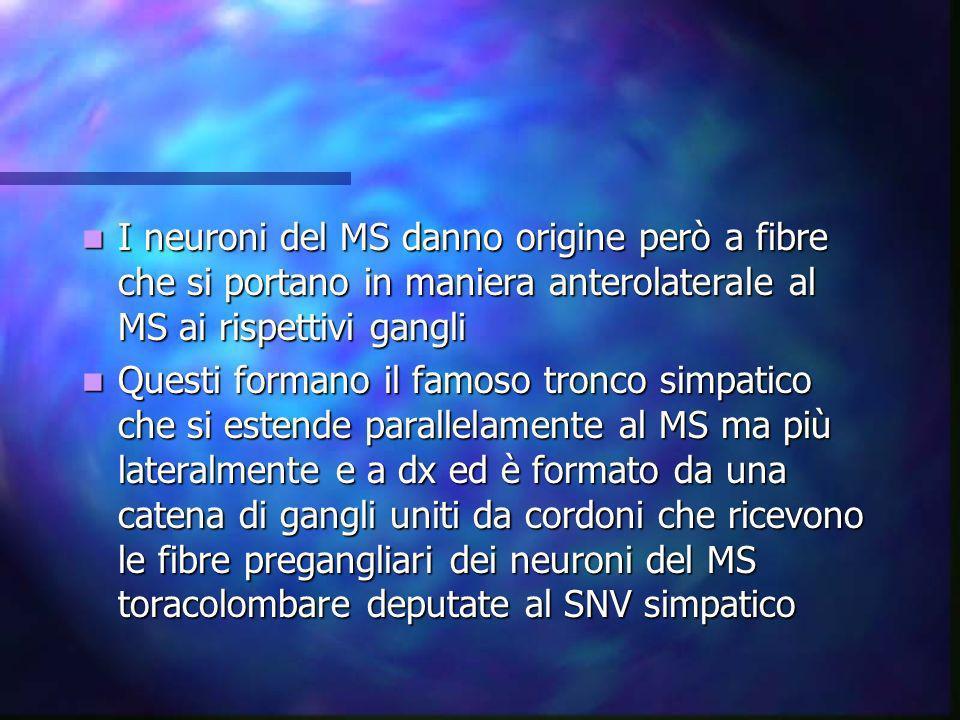 Il percorso della fibra pre gangliare è appunto quello di terminare nel rispettivo ganglio Il percorso della fibra pre gangliare è appunto quello di terminare nel rispettivo ganglio Questi gangli che fanno del sistema simpatico un sistema disinaptico ( mentre quello motrice somatico è monosinaptico ) non sono solo posti in corrispondenza dei rispettivi segmenti spinali Questi gangli che fanno del sistema simpatico un sistema disinaptico ( mentre quello motrice somatico è monosinaptico ) non sono solo posti in corrispondenza dei rispettivi segmenti spinali Infatti i primi gangli toracici possono comunicare con cordoni con altri gangli posti sup e che formano i gangli cervicale sup, medio e inf deputate al controllo dei mm piloerettori, della cute, ghiandole sudoripare, vasi della testa e del collo Infatti i primi gangli toracici possono comunicare con cordoni con altri gangli posti sup e che formano i gangli cervicale sup, medio e inf deputate al controllo dei mm piloerettori, della cute, ghiandole sudoripare, vasi della testa e del collo Anche in basso gli ultimi gangli lombari possono comunicare con altri gangli che formano alcuni plessi deputati al controllo della parte terminale del colon, della vescica, del retto, degli organo genitali e delle rispettive zone cutanee e sudoripare Anche in basso gli ultimi gangli lombari possono comunicare con altri gangli che formano alcuni plessi deputati al controllo della parte terminale del colon, della vescica, del retto, degli organo genitali e delle rispettive zone cutanee e sudoripare
