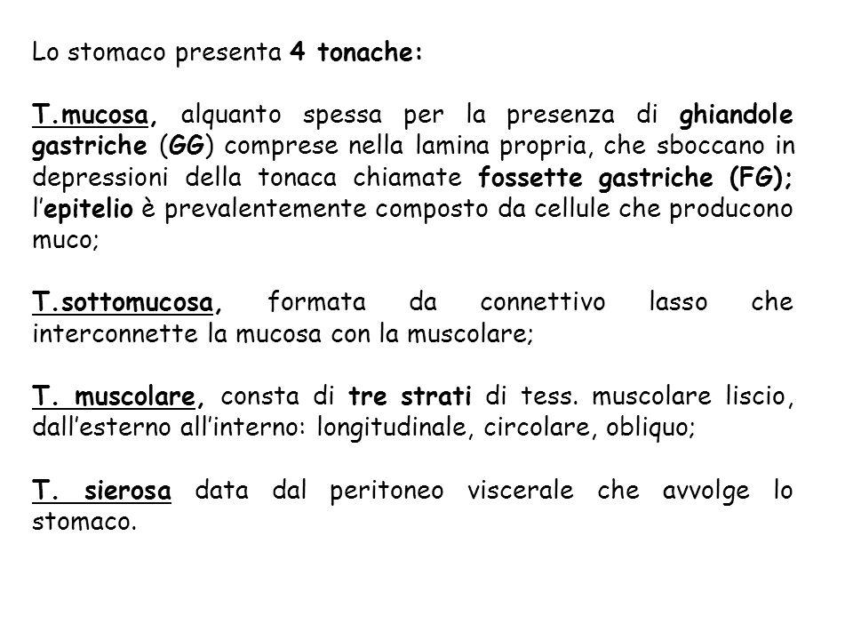 Lo stomaco presenta 4 tonache: T.mucosa, alquanto spessa per la presenza di ghiandole gastriche (GG) comprese nella lamina propria, che sboccano in de