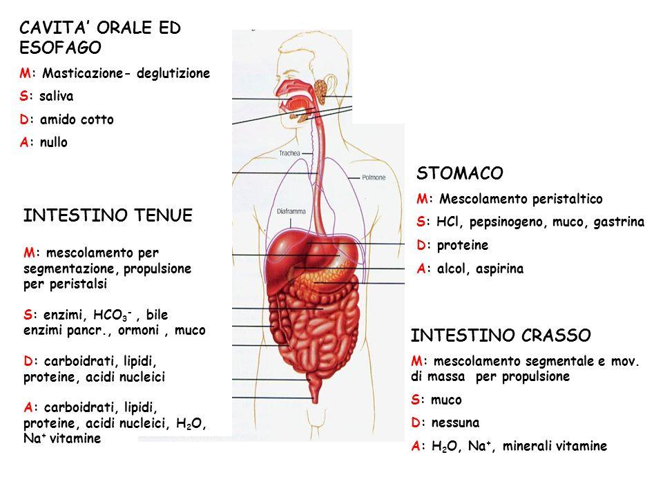 CAVITA ORALE ED ESOFAGO M: Masticazione- deglutizione S: saliva D: amido cotto A: nullo STOMACO M: Mescolamento peristaltico S: HCl, pepsinogeno, muco