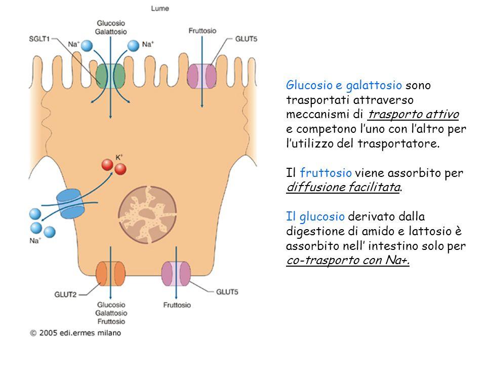 Glucosio e galattosio sono trasportati attraverso meccanismi di trasporto attivo e competono luno con laltro per lutilizzo del trasportatore. Il frutt