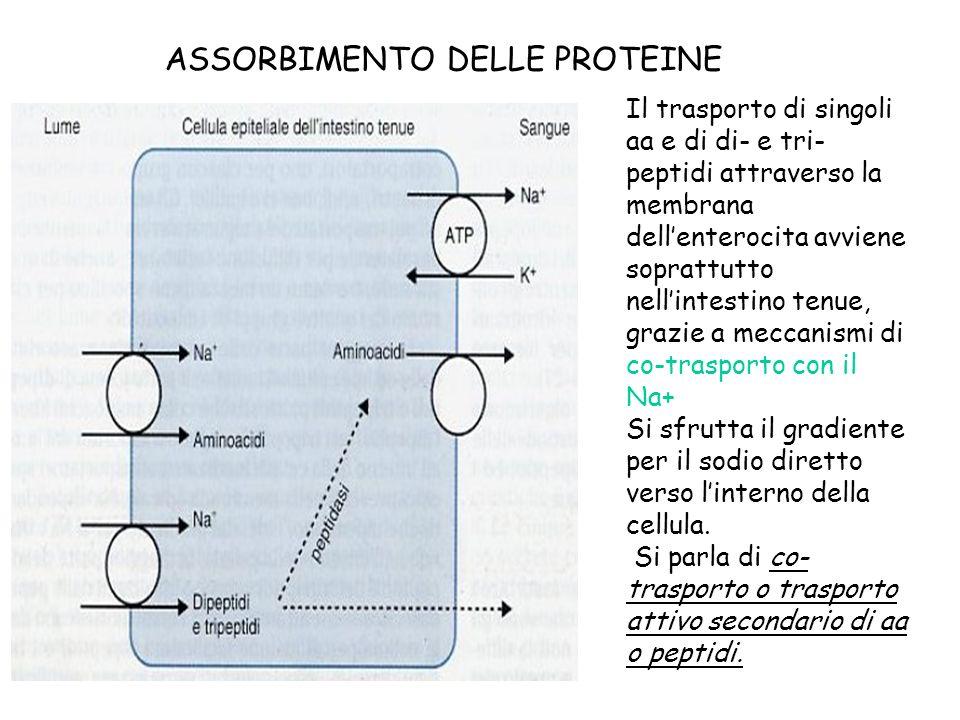 ASSORBIMENTO DELLE PROTEINE Il trasporto di singoli aa e di di- e tri- peptidi attraverso la membrana dellenterocita avviene soprattutto nellintestino