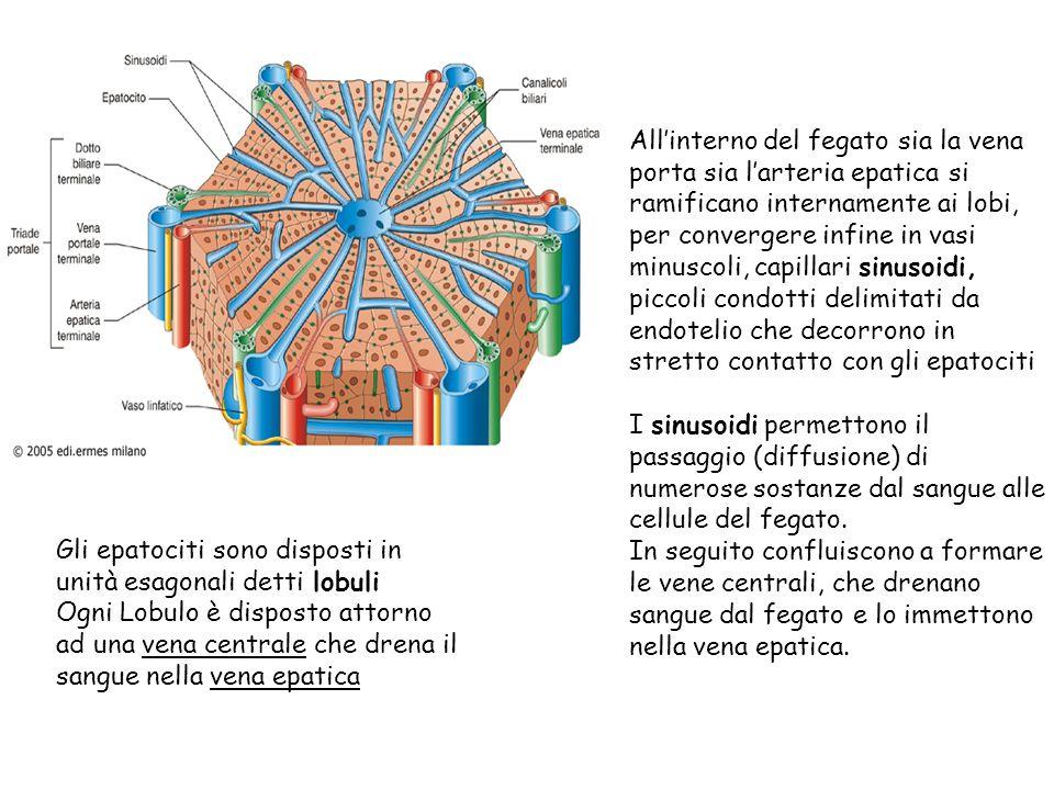 Gli epatociti sono disposti in unità esagonali detti lobuli Ogni Lobulo è disposto attorno ad una vena centrale che drena il sangue nella vena epatica