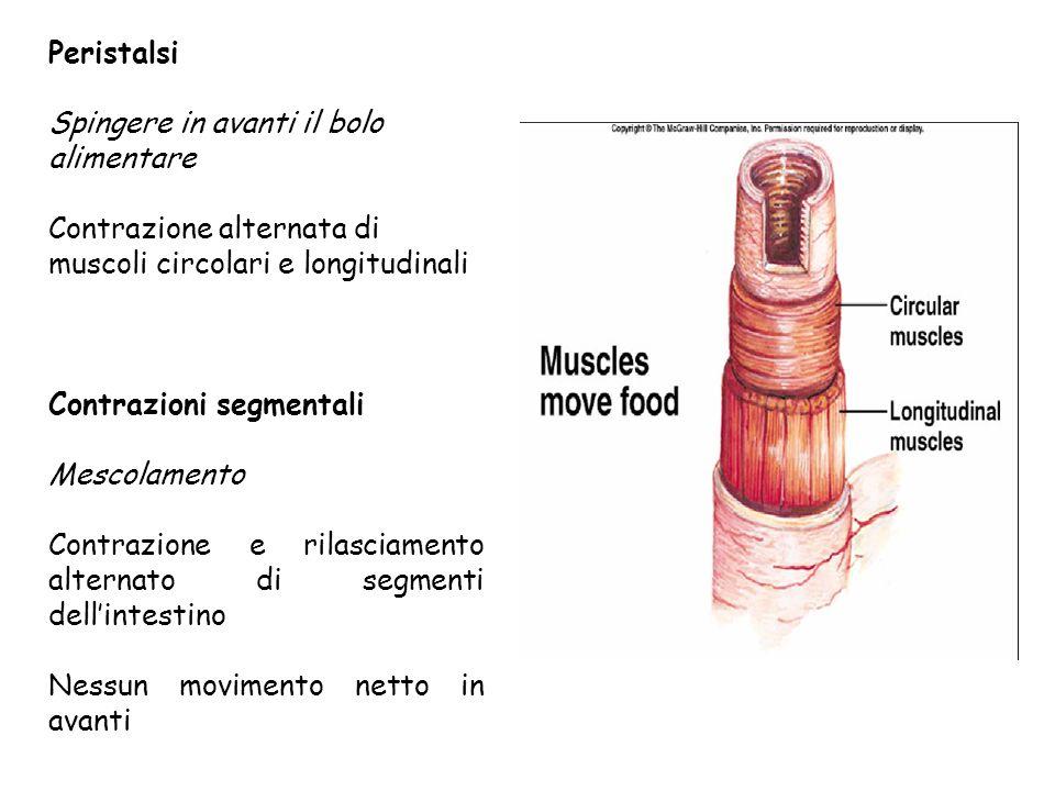 Peristalsi Spingere in avanti il bolo alimentare Contrazione alternata di muscoli circolari e longitudinali Contrazioni segmentali Mescolamento Contra