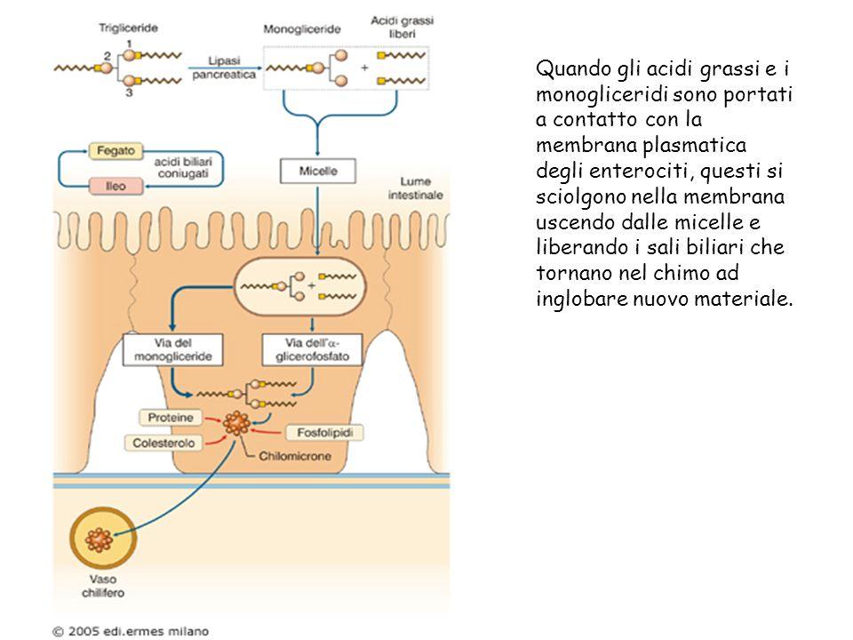 Quando gli acidi grassi e i monogliceridi sono portati a contatto con la membrana plasmatica degli enterociti, questi si sciolgono nella membrana usce