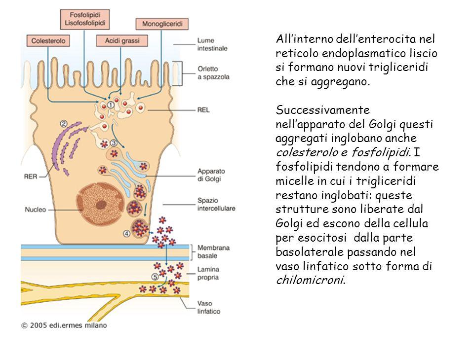 Allinterno dellenterocita nel reticolo endoplasmatico liscio si formano nuovi trigliceridi che si aggregano. Successivamente nellapparato del Golgi qu