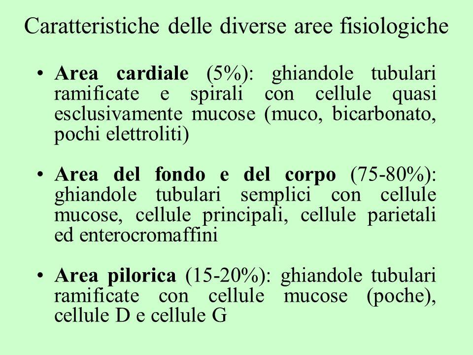 Caratteristiche delle diverse aree fisiologiche Area cardiale (5%): ghiandole tubulari ramificate e spirali con cellule quasi esclusivamente mucose (m
