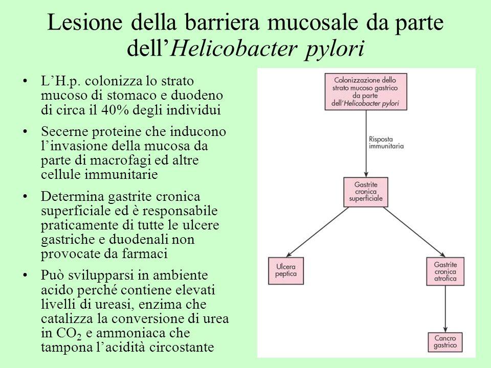 Lesione della barriera mucosale da parte dellHelicobacter pylori LH.p. colonizza lo strato mucoso di stomaco e duodeno di circa il 40% degli individui