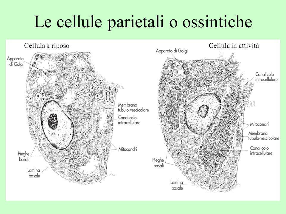 Le cellule parietali o ossintiche Cellula a riposoCellula in attività