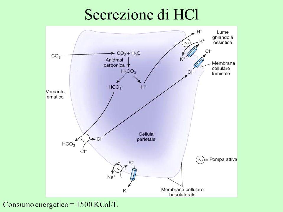 Secrezione di HCl Consumo energetico = 1500 KCal/L