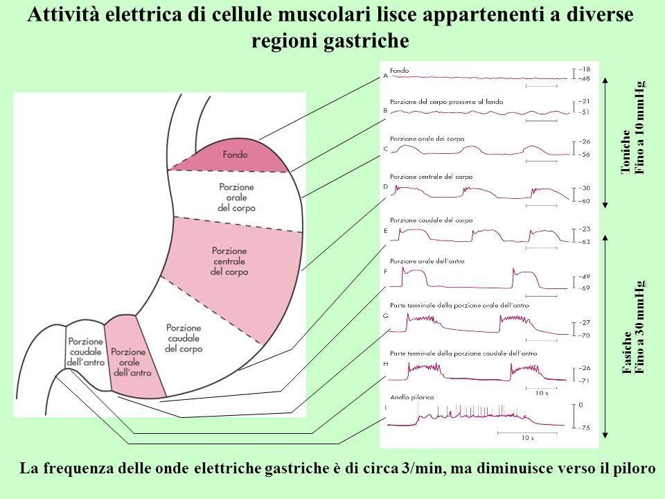 Attività elettrica di cellule muscolari lisce appartenenti a diverse regioni gastriche Toniche Fino a 10 mmHg Fasiche Fino a 30 mmHg La frequenza dell