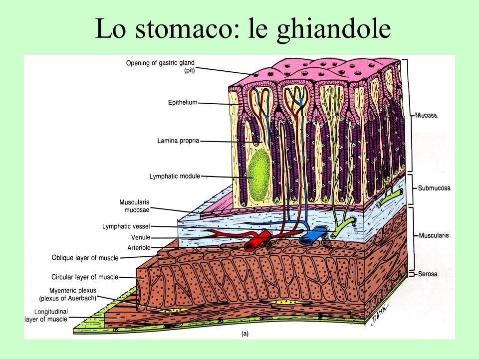 Ghiandole gastriche: i diversi tipi cellulari Cellule indifferenziate