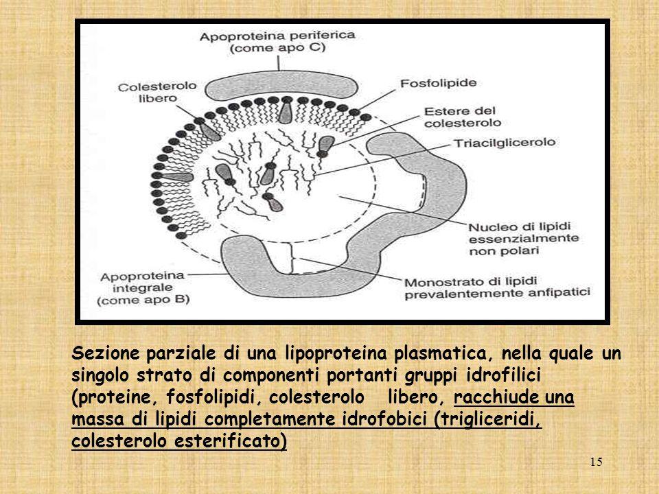 15 Sezione parziale di una lipoproteina plasmatica, nella quale un singolo strato di componenti portanti gruppi idrofilici (proteine, fosfolipidi, col