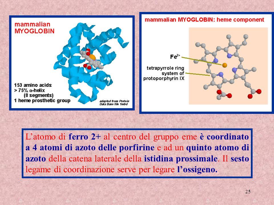 25 Latomo di ferro 2+ al centro del gruppo eme è coordinato a 4 atomi di azoto delle porfirine e ad un quinto atomo di azoto della catena laterale del