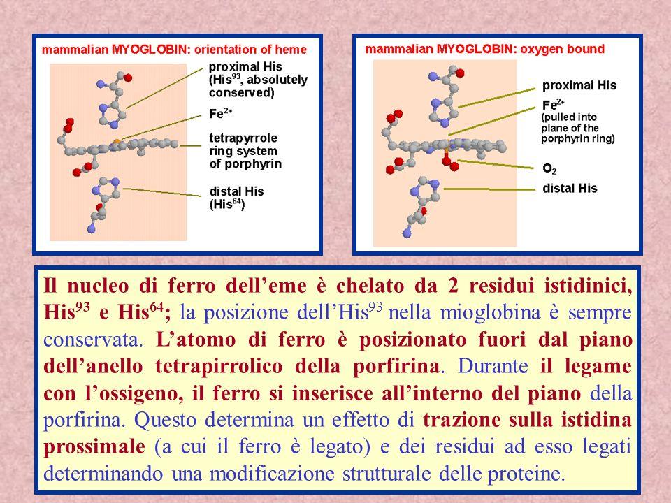 26 Il nucleo di ferro delleme è chelato da 2 residui istidinici, His 93 e His 64 ; la posizione dellHis 93 nella mioglobina è sempre conservata. Latom