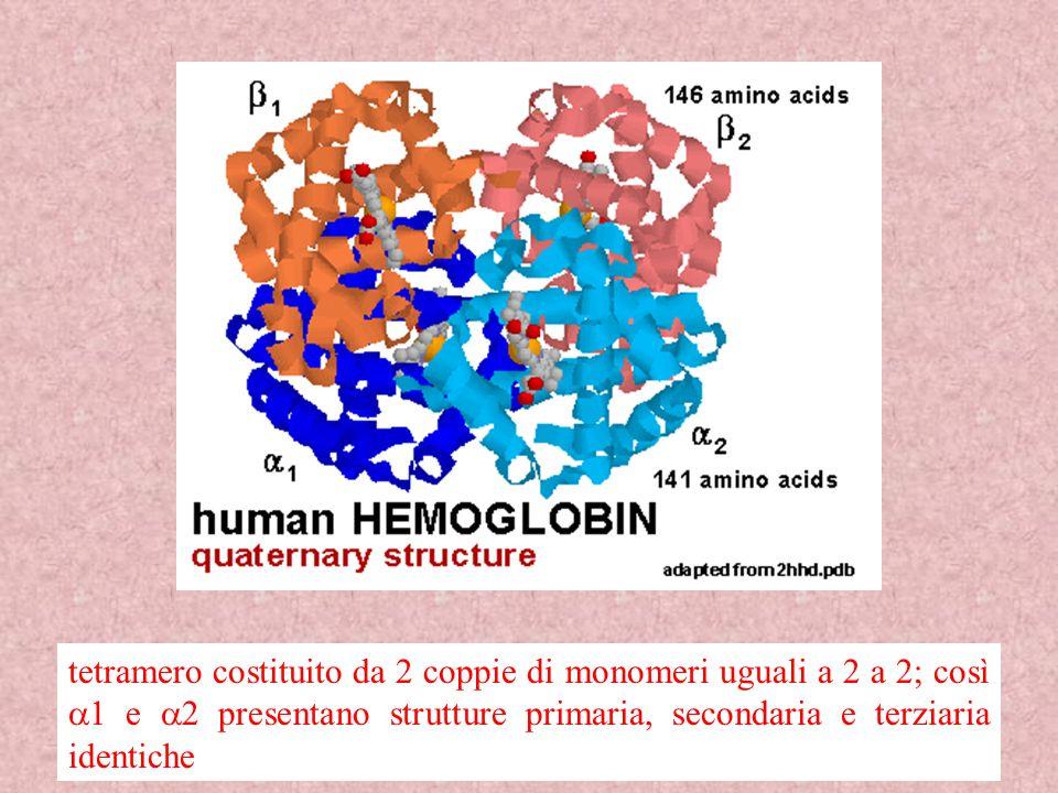 34 tetramero costituito da 2 coppie di monomeri uguali a 2 a 2; così 1 e 2 presentano strutture primaria, secondaria e terziaria identiche