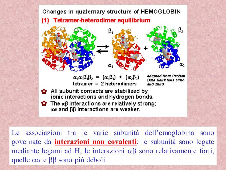 35 Le associazioni tra le varie subunità dellemoglobina sono governate da interazioni non covalenti; le subunità sono legate mediante legami ad H, le