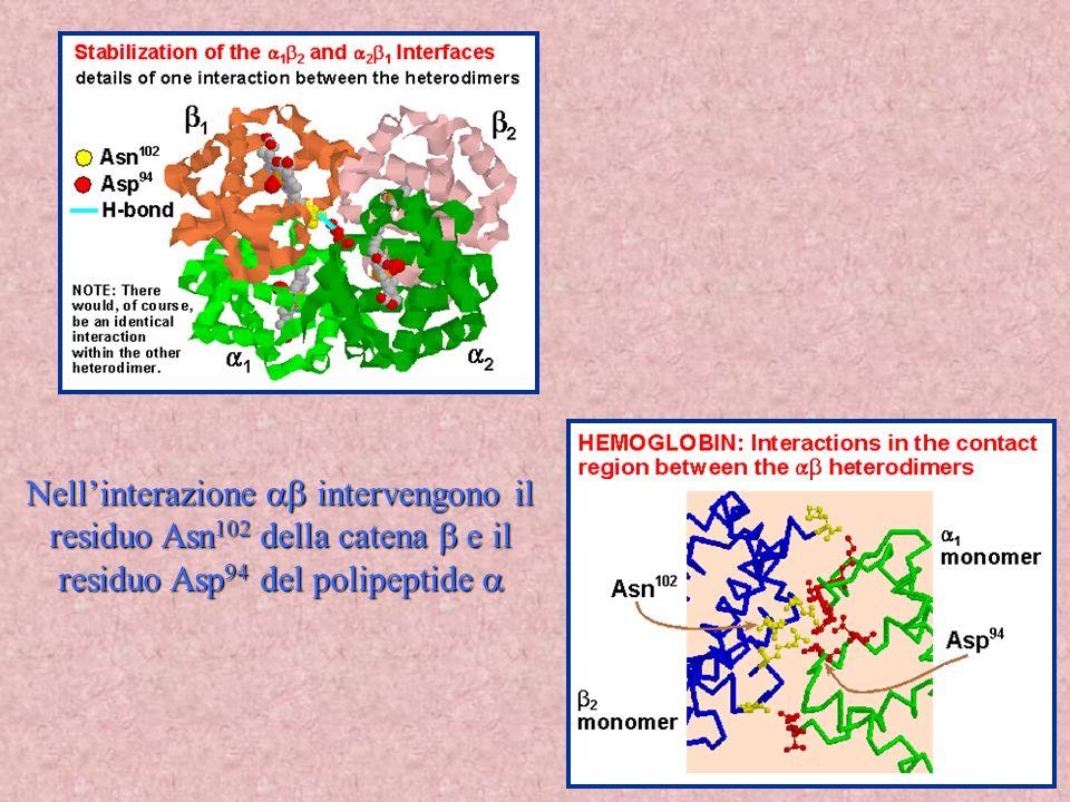 36 Nellinterazione intervengono il residuo Asn 102 della catena e il residuo Asp 94 del polipeptide Nellinterazione intervengono il residuo Asn 102 de