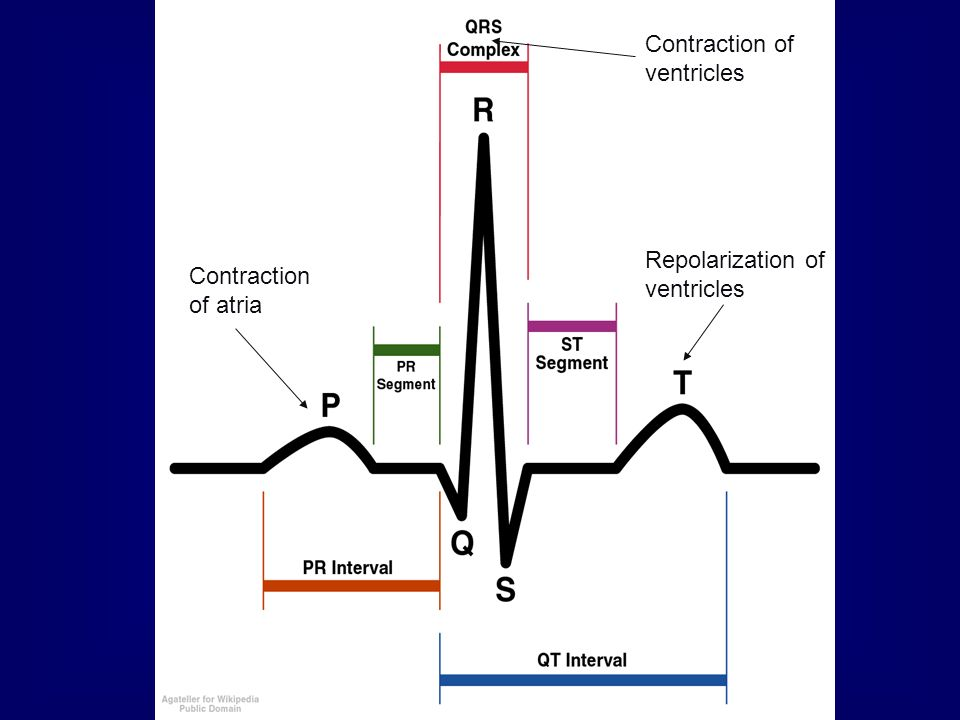 Contraction of atria Contraction of ventricles Repolarization of ventricles