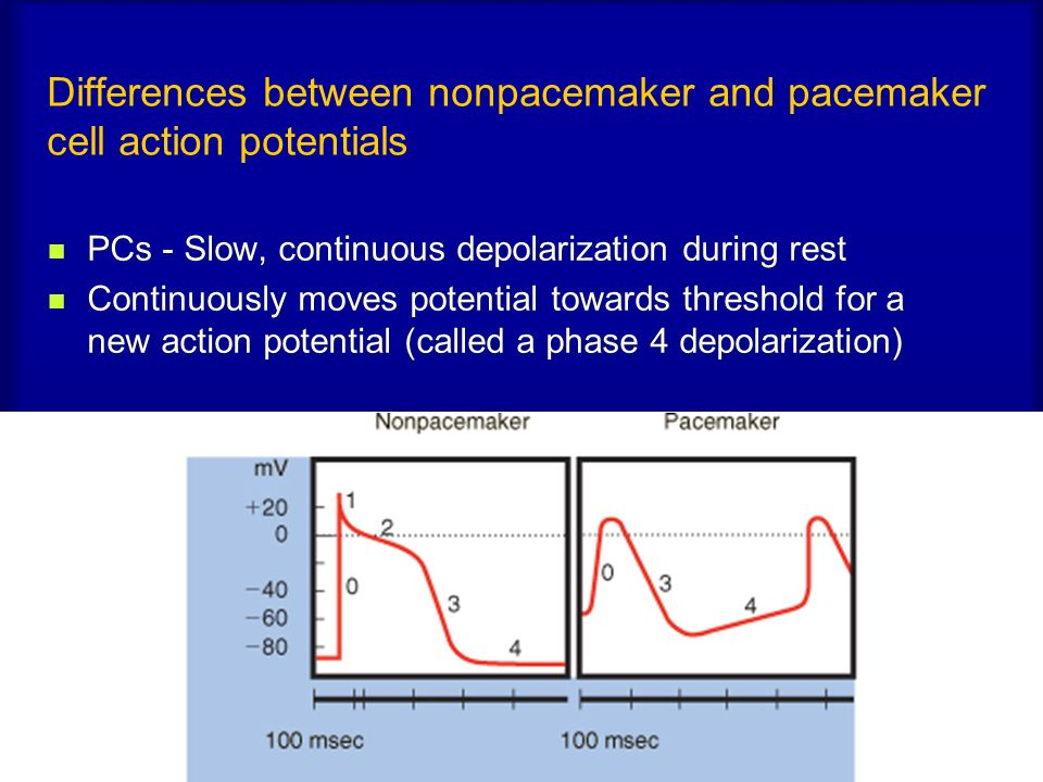 Differences between nonpacemaker and pacemaker cell action potentials PCs - Slow, continuous depolarization during rest Continuously moves potential t