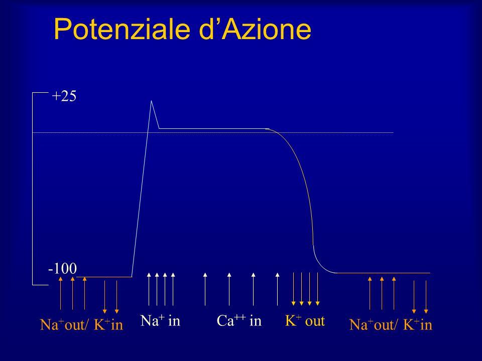 Potenziale dAzione Na + inCa ++ inK + out Na + out/ K + in +25 -100